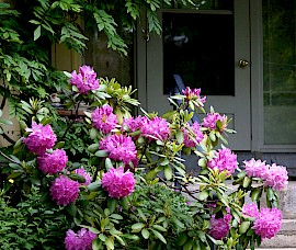 The front gardens has some healthy rhododendrons.