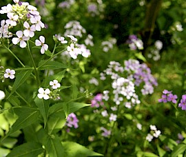 Wild hesperis bloom fragrantly in the evening under the black walnut