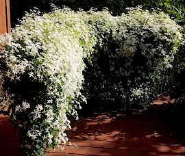 Clematis ternaflora covers the railing and fills the air with a lemony sweet scent