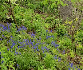 Muscari are able to grow under a giant black walnut